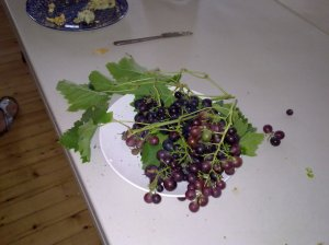 grapes from Shandon!